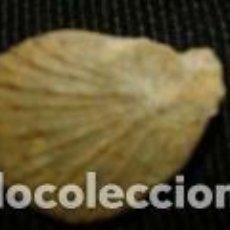 Coleccionismo de fósiles: FOSIL 1, 3 X 1, 8 CM. Lote 70324957