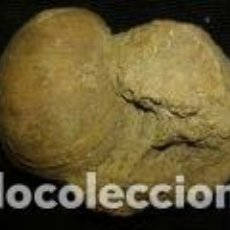 Coleccionismo de fósiles: FOSIL 2 CONCHAS 8X5X4, 5 CM. Lote 70326289