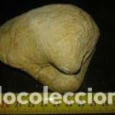Coleccionismo de fósiles: FOSIL BIVALVO GRANDE 10X9X6 CM. Lote 71844751
