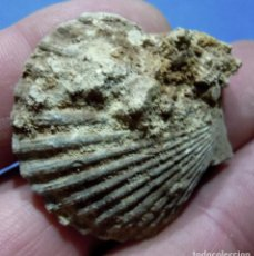 Coleccionismo de fósiles: MOLUSCOS-PECTEN ROBUSTUS-MIOCENO DE GIRONDE-FRANCIA-REF. 877. Lote 72186695