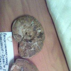 Coleccionismo de fósiles: PSEUDOGRAMMOCERAS SP.. Lote 77286869