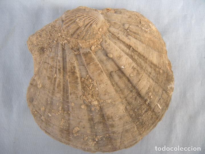 FÓSIL (Coleccionismo - Fósiles)