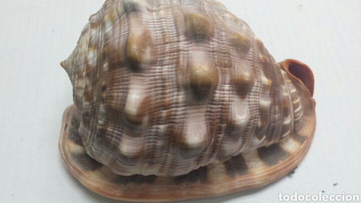 ANTIGUO FOSIL DE CARACOLA MARINA GRANDE Y RARA (Coleccionismo - Fósiles)