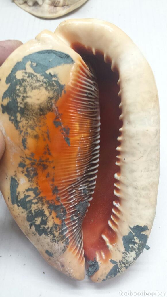 Coleccionismo de fósiles: Antiguo fosil de Caracola Marina grande y rara - Foto 3 - 77613621
