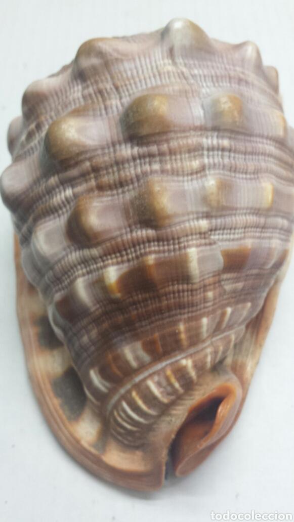 Coleccionismo de fósiles: Antiguo fosil de Caracola Marina grande y rara - Foto 4 - 77613621