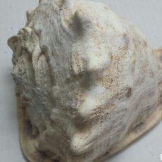 Coleccionismo de fósiles: ANTIGUO FOSIL DE CARACOLA MARINA GRANDE. Lote 77613965