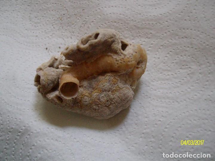 Coleccionismo de fósiles: GRUPO DE FOSILES Y CONCHAS MARINAS - Foto 8 - 78311625