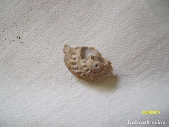 Coleccionismo de fósiles: GRUPO DE FOSILES Y CONCHAS MARINAS - Foto 12 - 78311625