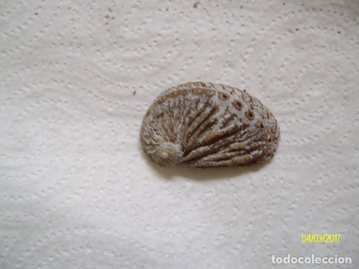 Coleccionismo de fósiles: GRUPO DE FOSILES Y CONCHAS MARINAS - Foto 22 - 78311625