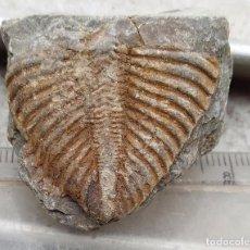 Coleccionismo de fósiles: PRECIOSO FOSIL DE TRILOBITE - CORONOCEPHALUS. Lote 80584106