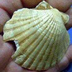 Coleccionismo de fósiles: MOLUSCOS-PECTEN BENEDICTUS-MIOCENO SERRAVALLIENSE-SALLES D'ANGLAS-FRANCIA-F 877. Lote 83098728