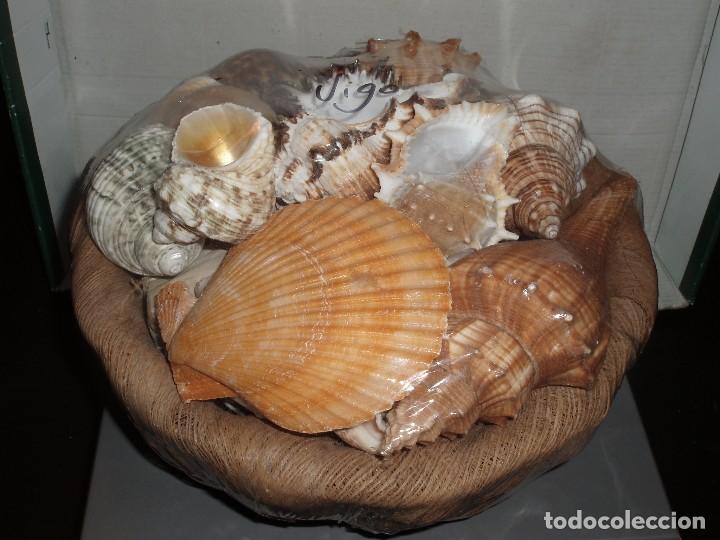 BONITO CESTO CON CONCHAS MARINAS NATURALES,NUEVO PRECINTADO (Coleccionismo - Fósiles)