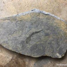 Coleccionismo de fósiles: FÓSIL DE PEZ CLUPEA SPECIES DE VIZCAYA. Lote 98251936