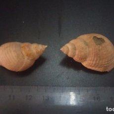 Coleccionismo de fósiles: FOSIL SPHAEONASSA PLIOMAGNA. . Lote 98689835