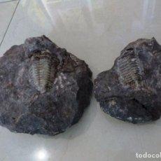 Coleccionismo de fósiles: FOSIL DE TRILOBITA. Lote 99796799
