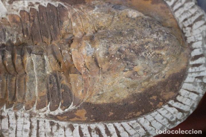 Coleccionismo de fósiles: trilobites - Foto 3 - 100076451