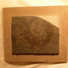 Coleccionismo de fósiles: FOSIL. Lote 104032403