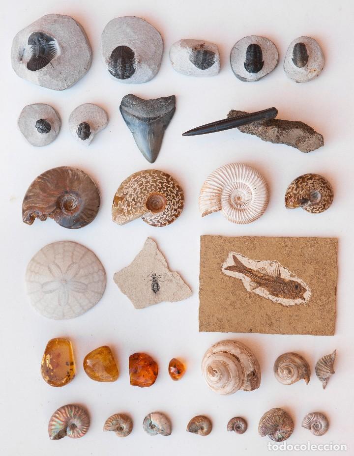 ESPECTACULAR COLECCIÓN DE 30 FOSILES, COLECCIÓN PERSONAL IMPORTANTE COLECCIONISTA (Coleccionismo - Fósiles)