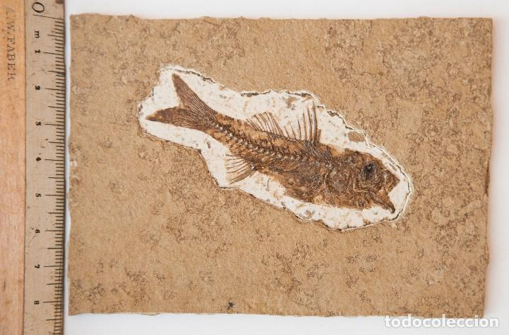 Coleccionismo de fósiles: ESPECTACULAR COLECCIÓN DE 30 FOSILES, COLECCIÓN PERSONAL IMPORTANTE COLECCIONISTA - Foto 4 - 104827139