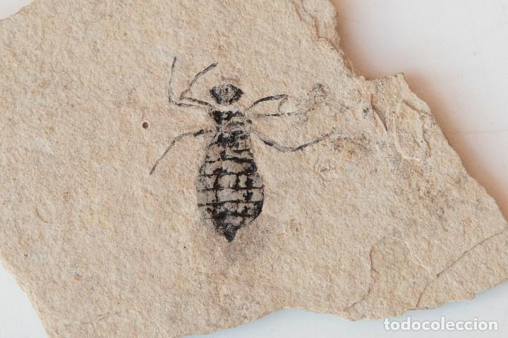 Coleccionismo de fósiles: ESPECTACULAR COLECCIÓN DE 30 FOSILES, COLECCIÓN PERSONAL IMPORTANTE COLECCIONISTA - Foto 6 - 104827139