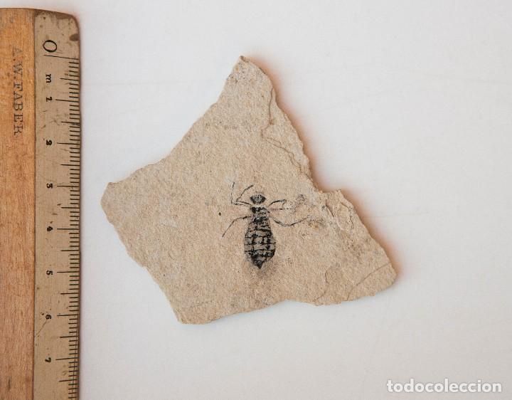 Coleccionismo de fósiles: ESPECTACULAR COLECCIÓN DE 30 FOSILES, COLECCIÓN PERSONAL IMPORTANTE COLECCIONISTA - Foto 7 - 104827139