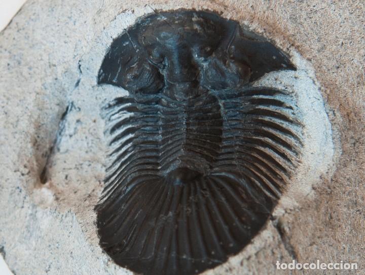 Coleccionismo de fósiles: ESPECTACULAR COLECCIÓN DE 30 FOSILES, COLECCIÓN PERSONAL IMPORTANTE COLECCIONISTA - Foto 15 - 104827139