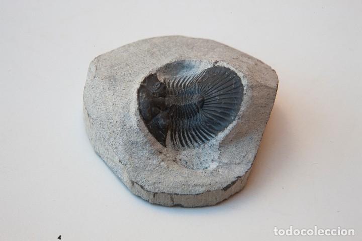 Coleccionismo de fósiles: ESPECTACULAR COLECCIÓN DE 30 FOSILES, COLECCIÓN PERSONAL IMPORTANTE COLECCIONISTA - Foto 17 - 104827139