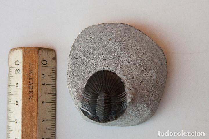 Coleccionismo de fósiles: ESPECTACULAR COLECCIÓN DE 30 FOSILES, COLECCIÓN PERSONAL IMPORTANTE COLECCIONISTA - Foto 18 - 104827139