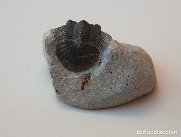 Coleccionismo de fósiles: ESPECTACULAR COLECCIÓN DE 30 FOSILES, COLECCIÓN PERSONAL IMPORTANTE COLECCIONISTA - Foto 24 - 104827139