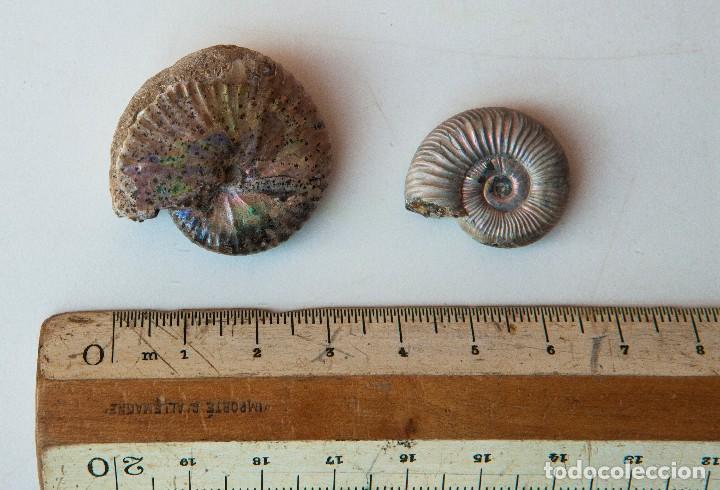 Coleccionismo de fósiles: ESPECTACULAR COLECCIÓN DE 30 FOSILES, COLECCIÓN PERSONAL IMPORTANTE COLECCIONISTA - Foto 80 - 104827139