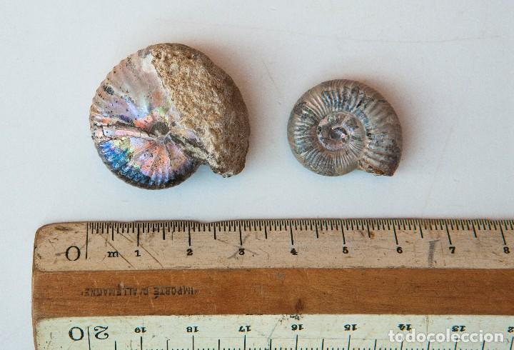 Coleccionismo de fósiles: ESPECTACULAR COLECCIÓN DE 30 FOSILES, COLECCIÓN PERSONAL IMPORTANTE COLECCIONISTA - Foto 81 - 104827139