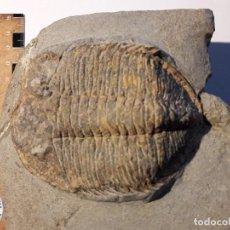 Coleccionismo de fósiles: EUDOLATITES TRILOBITES FOSIL ORDOVICICO MARRUECOS. GRAN PIEZA.. Lote 107088955