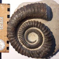 Coleccionismo de fósiles: ANETOCERAS AMMONITES FOSIL DEVONICO MARRUECOS. EXCELENTE PIEZA.GRAN TAMAÑO.. Lote 107090679