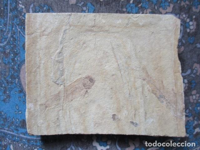 PLACA DE PEZES - FOSIL (Coleccionismo - Fósiles)