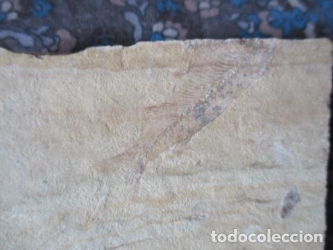Coleccionismo de fósiles: PLACA DE PEZES - FOSIL - Foto 3 - 107435639