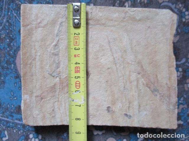 Coleccionismo de fósiles: PLACA DE PEZES - FOSIL - Foto 11 - 107435639
