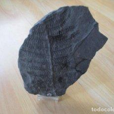 Coleccionismo de fósiles: PRECIOS GRAN FOSIL DE PLANTA - VER FOTOS. . Lote 107439119