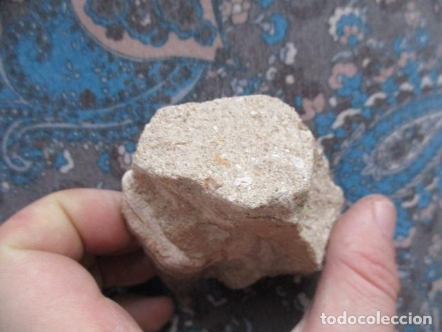 Coleccionismo de fósiles: DIENTE FOSIL DE TIBURON EXTINTO CARCHARODON MEGALODON - Foto 2 - 107440571