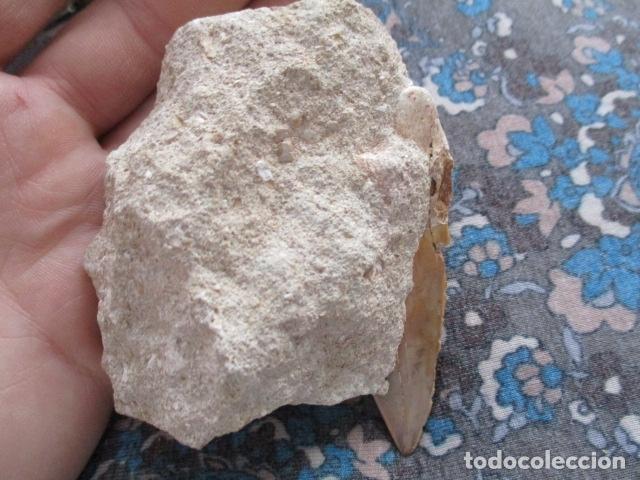 Coleccionismo de fósiles: DIENTE FOSIL DE TIBURON EXTINTO CARCHARODON MEGALODON - Foto 5 - 107440571