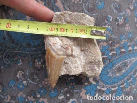 Coleccionismo de fósiles: DIENTE FOSIL DE TIBURON EXTINTO CARCHARODON MEGALODON - Foto 11 - 107440571