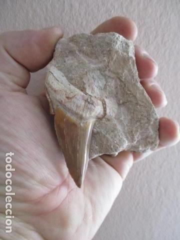 Coleccionismo de fósiles: DIENTE FOSIL DE TIBURON EXTINTO CARCHARODON MEGALODON - Foto 14 - 107440571