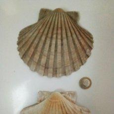 Coleccionismo de fósiles: DOS CONCHAS GIGANTES. Lote 107598302