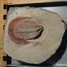 Coleccionismo de fósiles: HARPIDES TRILOBITES FOSIL ORDOVICICO MARRUECOS. EXCELENTE PIEZA.. Lote 107961983