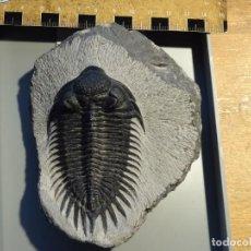 Coleccionismo de fósiles: SAHAROPS BENSAIDI TRILOBITES FOSIL MARRUECOS. EXCELENTE PIEZA.PRIMERA VEZ EN TODOCOLECCION.. Lote 107962179