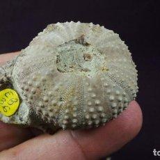 Coleccionismo de fósiles: FÓSILES,ERIZOS,TETRAGRAMMA ALMERAI ,ERIZO FÓSIL,OURSIN ,SEEIGEL, ECHINOID, URCHIN, EQUINOIDEO. Lote 108777907