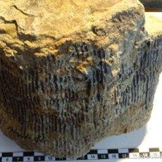 Coleccionismo de fósiles: EXTRAORDINARIO Y UNICO CALAMITES TRONCO FOSIL. 100% NATURAL.UNICO EN TODOCOLECCION.PERMICO.. Lote 110094427