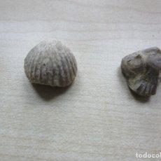 Coleccionismo de fósiles: DOS CONCHAS FÓSILES. Lote 110464059
