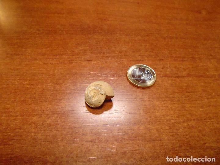 Coleccionismo de fósiles: FÓSIL CARACOL - Foto 4 - 110899503