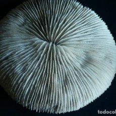 Coleccionismo de fósiles: CORAL FOSILIZADO. Lote 112601535