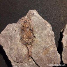 Coleccionismo de fósiles: HOMOCISTYTES Y PLUMITES.ORDOVICICO,FOSIL.PALEONTOLOGIA. MARRUECOS.NUNCA VISTO EN TODOCOLECCION.. Lote 114160603